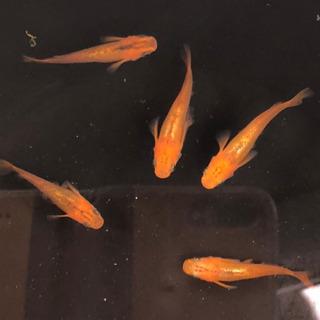 めだか カナリア 稚魚から幼魚 10匹
