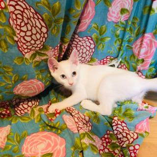 猫空シリーズ✈️魅惑的❣️オットアイ♬&ブルーアイ♬神秘的な2ヶ...