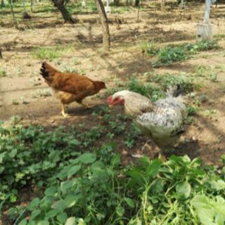 地鶏を一緒に育てませんか?