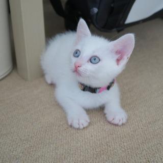 白猫のシロップちゃん