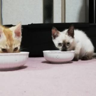 5月末生まれの子猫【茶トラ・シャム風・真っ黒】