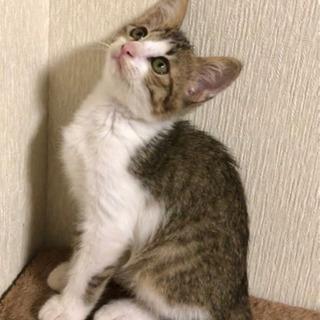 家族が決まりました☺︎ 【キジシロ】生後1ヶ月半 女の子 - 猫