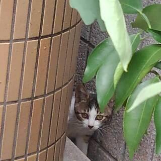 生後3ヶ月のフジシロ猫1匹の家族になってください。