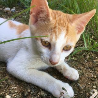 沖縄本島内つれて行きます。保護した子猫里親募集。獣医さんに指導し...