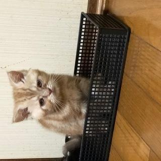 アメリカンショートヘアー子猫