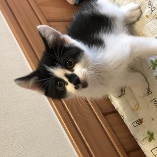 生後2ヶ月の可愛い兄弟子猫です