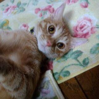美猫の茶トラです!【8/16日譲渡会】