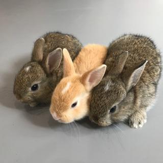 再募集です。ウサギ(6月30日産まれ)の里親募集です。