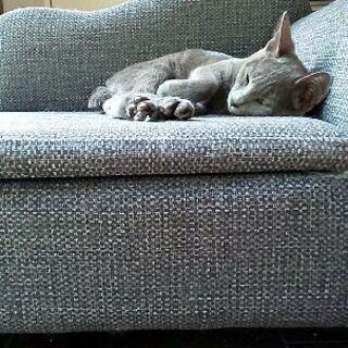 ロシアンブルー風きれいな子猫さしあげます!