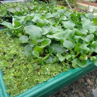 オオサンショウモやホテイアオイ等の水草