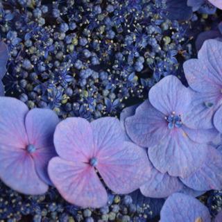 *̣̩⋆̩ 紫陽花 挿し穂