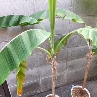 (ありがとうございました)観葉植物 レッドタイガーバナナ …