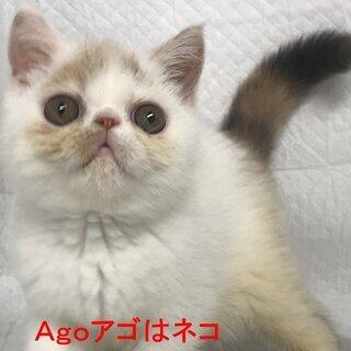 エキゾチックショートヘア 子猫 本文をよくご覧下さいませ。 アゴ...