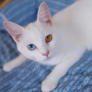 オッドアイの甘えた白猫さん♪