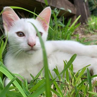 白い子猫(♂)里親募集!