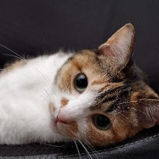 【トライアル決定しました】縞三毛の女の子成猫さんです