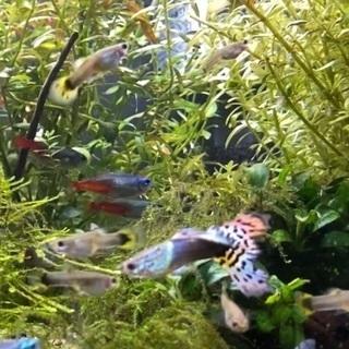 ★値下げ★グッピー「ペア」(ドラゴンヘッド)、観賞魚、熱帯魚