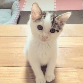 トライアル中☆甘えん坊のシロキジ子猫