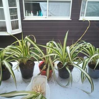 植物 オリヅルラン