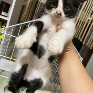 緊急!急募!生後2ヶ月位の子猫の里親を募集。