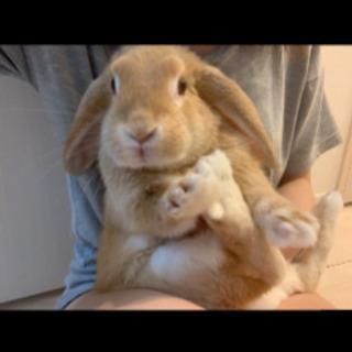 ロップイヤー ウサギ