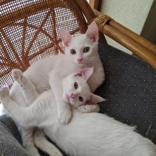 3ヶ月の白猫