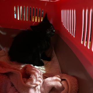 黒猫の子猫です。