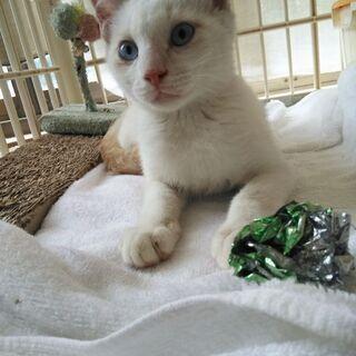 ブルーアイ白仔猫君現在トライアル中です