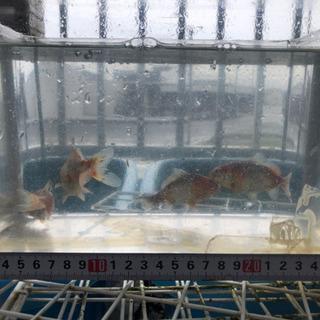 金魚【墨和金】