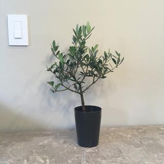 オリーブ 樹木 souju 盆栽
