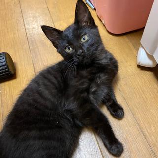 生後3ヶ月半くらいの黒猫子にゃんこ − 石川県