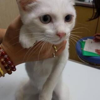 頭にてんがある白猫てんちゃん🍀