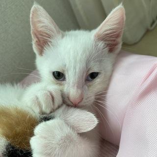 シャム猫系の雑種とハチワレの雑種の子猫です。