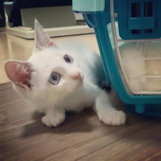 白猫ちゃん青い目女の子2ヶ月(シャムミックスor笹かま系かも)