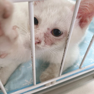 野良猫 白 2匹 追記あり ※問い合わせ多数の為選考中 新規問い...
