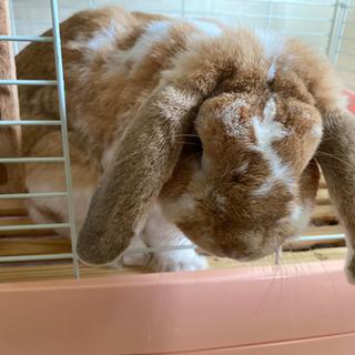 ウサギ(ホーランドロップイヤー)
