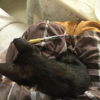メスの 黒猫 一ヶ月すぎ あかちゃん - 猫