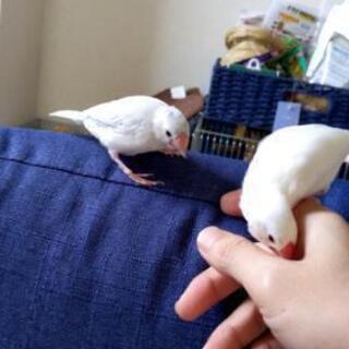 白文鳥とシルバー文鳥