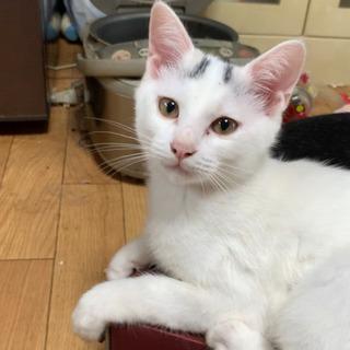 可愛いブチの白猫です