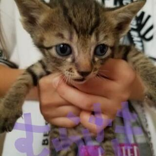 生後約1ヶ月半のキジトラ&黒猫ちゃん