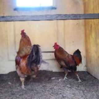 オスの鶏、いかがですか?