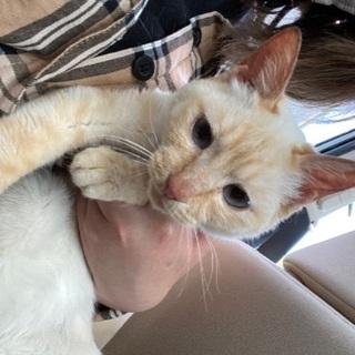 1歳未満 女の子♀︎小柄で可愛らしい猫ちゃんです!
