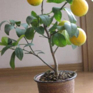 探しています。レモンの実の付いた木!