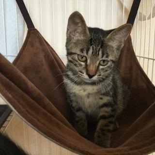 保護仔猫仲間   キジちゃん。3ヶ月  メス。甘えん坊になりました。