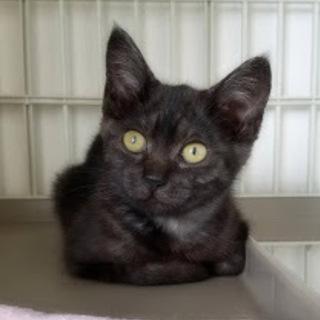 ブラックスモークのゴロゴロ子猫(けむりちゃん)