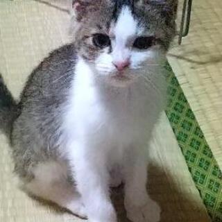 キジシロ子猫