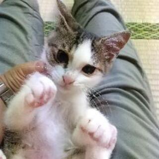 キジシロ子猫 2ヶ月位 - 下関市