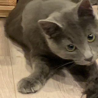 キレイなグレーの毛色💕1歳のオス猫です。
