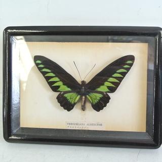 蝶の標本 アカエリベニアゲハ 額入り 自由研究 理科 生物 昆虫 実物