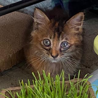 保護猫の長毛雑種 女の子 生後2ヶ月程度